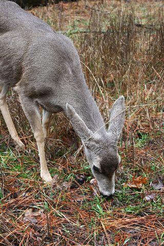 Deer1Web